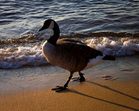 goose at lake